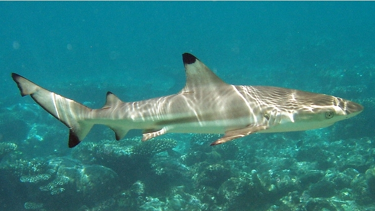 Carcharhinus_melanopterus_mirihi