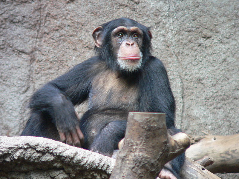 Chimpanzee