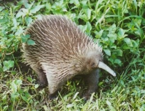 Rare echidna species not so extinct after all?