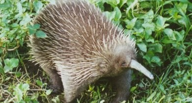 Long Beaked Echidna