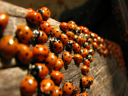 ladybirds1
