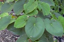 kava-leaves