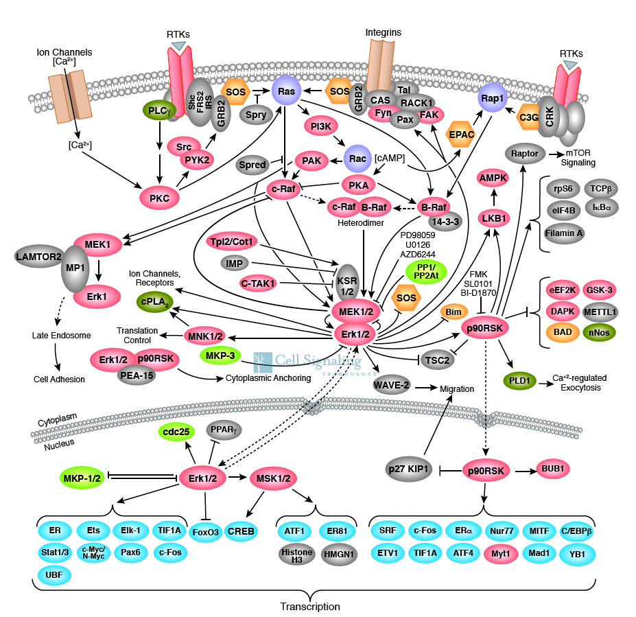 The hallmarks of cancer growth factors and cell signaling a truly complex web of cell communication these are some of the proteins we know ccuart Image collections