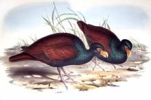 Diduncule strigirostre Didunculus strigirostris Tooth-billed Pigeon