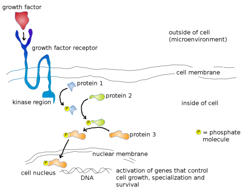 Mode of action of a typical Growth Factor. Growth Factor (red) binds to specific Growth Factor Receptor Binding Site (dark blue) on cell surface, which activates the kinase region (light blue). Activated kinase region now adds a phosphate group (yellow) to Protein 1 (blue) which activates it. Activated Protein 1 now adds a phosphate group to Protein 2 (green) further down the pathway, which activates it. Activated Protein 2 subsequently adds a phosphate group to Protein 3 (orange) which activates it. Activated Protein 3 moves through the nuclear membrane into the cell nucleus where it physically binds to the DNA and activates genes that control cell growth, specialization and survival. Image credit: Buddhini Samarasinghe