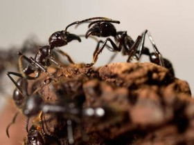 "Close-up view Giant ants (Paraponera Clavata), appearing at the exhibition ""Mille milliards de fourmis"" at the Palais de la Decouverte in Paris. (Copyright: Getty Images)"