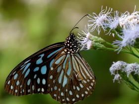 Dark Blue Tiger pic
