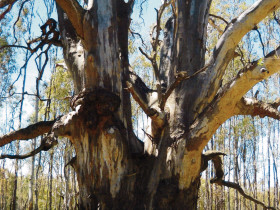 river red gum pic