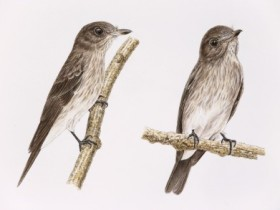 New-Bird-Species-Discovered-New-flycatcher-standalone-440x293
