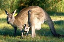 gray-kangaroo_554_600x450